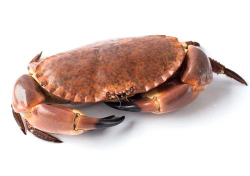 buey-mar-txangurro-vivo